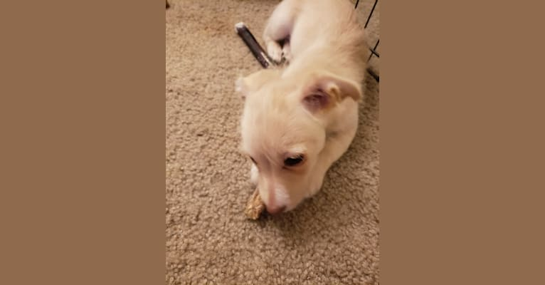 Photo of Hannah, a Dachshund, Bichon Frise, Silky Terrier, Rat Terrier, and Pomeranian mix in Tacoma, WA, USA