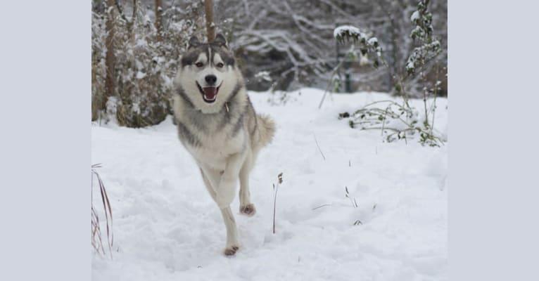 Photo of Yuri, a Siberian Husky  in Österreich