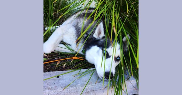 Photo of Kenzie, a Siberian Husky  in Newport Beach, California, USA