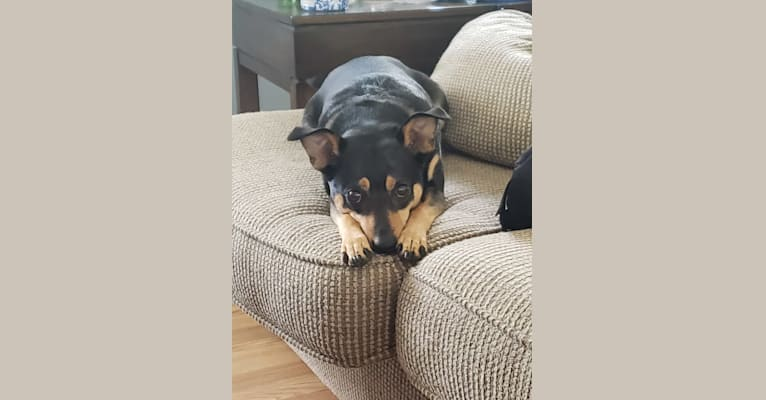 Photo of Holly, a Miniature Pinscher, Australian Cattle Dog, Australian Shepherd, American Eskimo Dog, and Mixed mix in Marysville, Michigan, USA