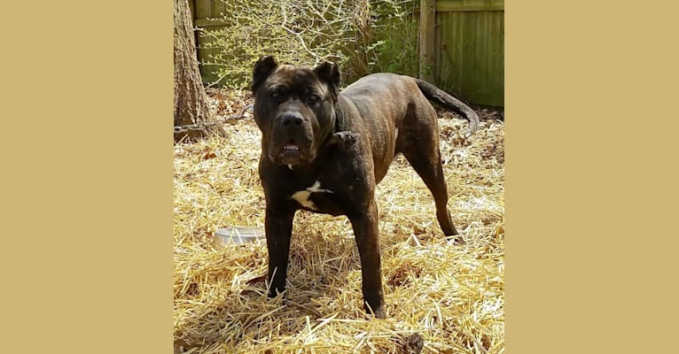 Photo of Essence, a Perro de Presa Canario  in Illinois, USA