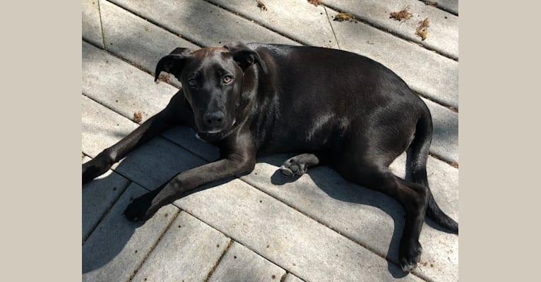 Photo of Lilla, a Treeing Walker Coonhound, German Shepherd Dog, American Pit Bull Terrier, Miniature Schnauzer, Boxer, and Golden Retriever mix in Neenah, Wisconsin, USA