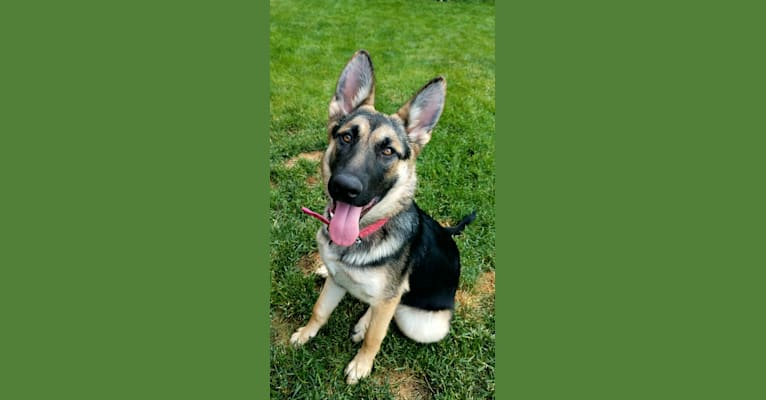 Photo of Xena, a German Shepherd Dog mix in Airway Heights, Washington, USA
