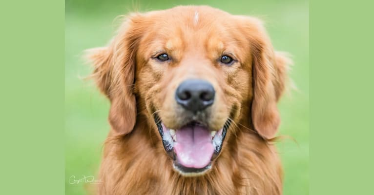 Photo of Biscuit, a Golden Retriever  in Easton, Pennsylvania, USA