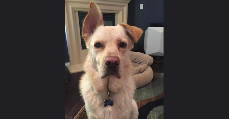 Photo of Bergen, a German Shepherd Dog, Neapolitan Mastiff, Chow Chow, and Siberian Husky mix in Los Angeles, California, USA