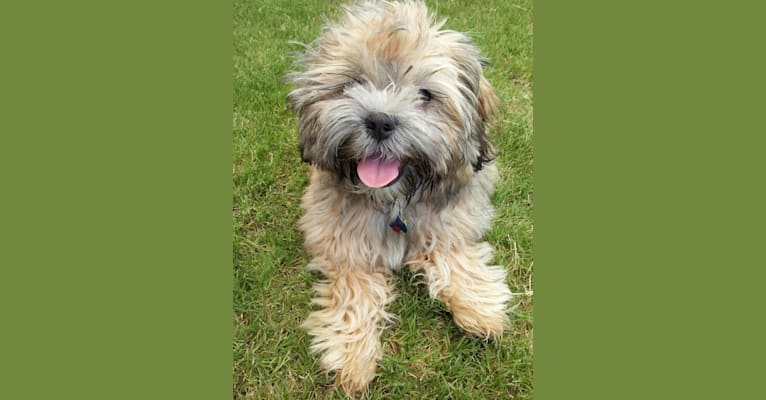 Photo of Mochi, a Shih Tzu, Poodle (Small), and Bichon Frise mix in Texas, USA