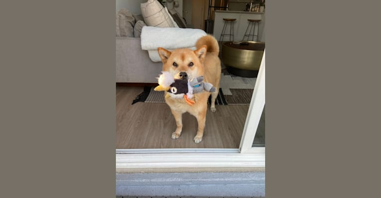 Photo of Foxy, a Jindo  in New Jersey, USA