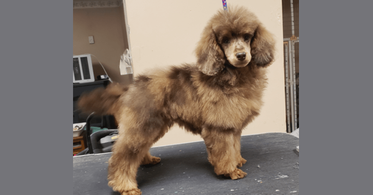 Photo of Ramsey, a Poodle