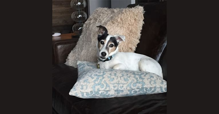 Photo of Frankie, a Russell-type Terrier and Smooth Fox Terrier mix in Phoenix, Arizona, USA