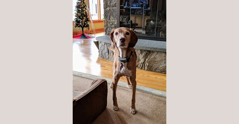 Photo of Bailey, a German Shorthaired Pointer and Pointer mix in Weston, Vermont, USA