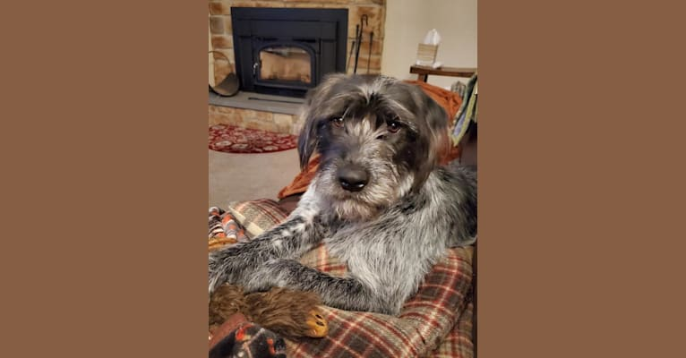 Photo of Muttley, a Labrador Retriever, German Shepherd Dog, Chow Chow, Boxer, Dalmatian, and American Bulldog mix in Douglassville, Pennsylvania, USA