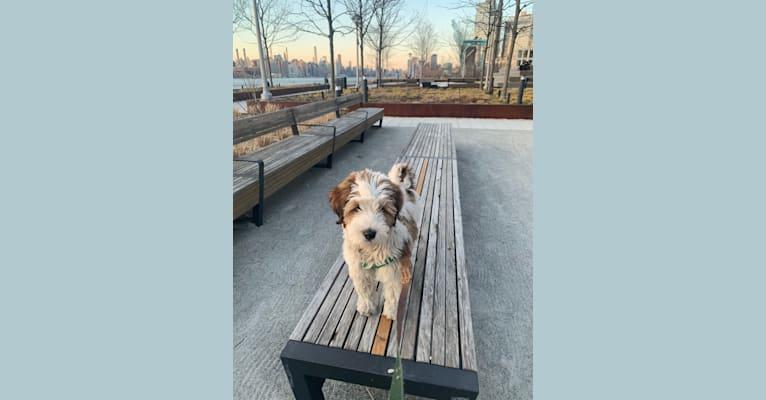 Photo of Jordi, a Tibetan Terrier  in Waterloo, New York, USA