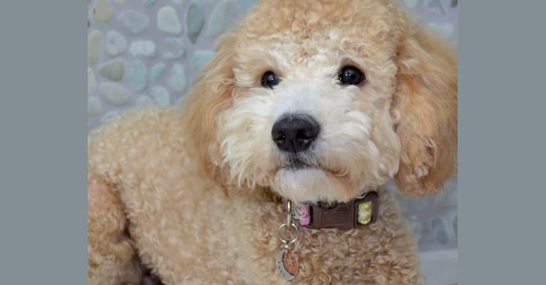 Photo of Dazzling Queen Luna, a Poodle (Small) and Golden Retriever mix