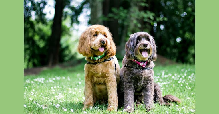 Photo of Rowan, a Poodle (Small), Poodle (Standard), and Cocker Spaniel mix in Eugene, OR, USA