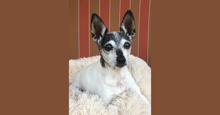 Photo of Giada, a Toy Fox Terrier  in DuBois, PA, USA