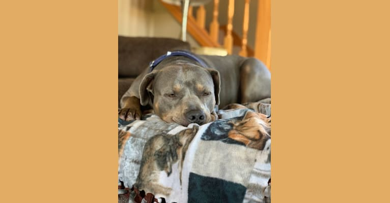 Photo of Smokey, an American Bully  in Oklahoma, USA