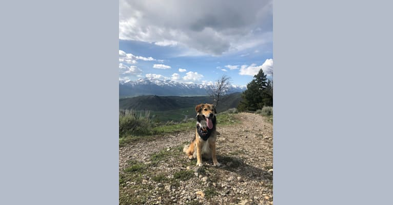 Photo of Akela, an American Pit Bull Terrier, Australian Cattle Dog, German Shepherd Dog, and Chow Chow mix in Wyoming, USA