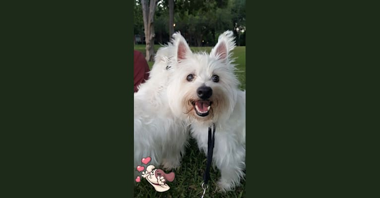 Photo of Riley, a West Highland White Terrier  in Dallas, Texas, USA