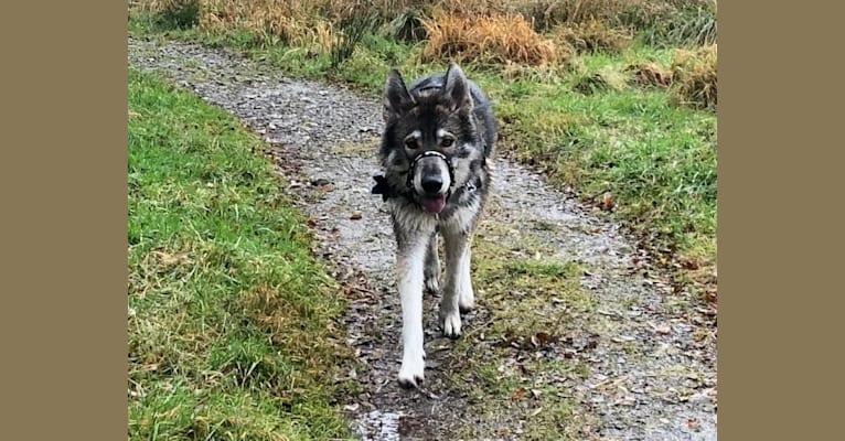 Photo of Nikan, a German Shepherd Dog and Alaskan Malamute mix in Lincolnshire, UK