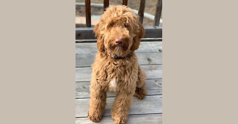 Photo of Winston, a Goldendoodle