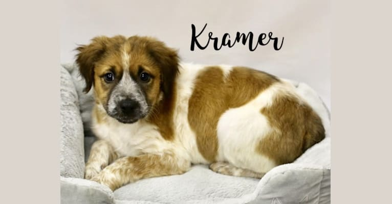 Photo of Kramer, an American Pit Bull Terrier, Bull Terrier, Australian Cattle Dog, and Labrador Retriever mix in Central Valley, California, USA