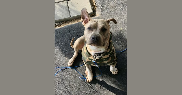 Photo of Bulleit Rye, an American Pit Bull Terrier and American Staffordshire Terrier mix in Howell, Michigan, USA