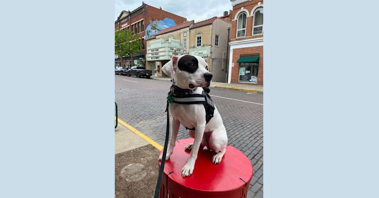 Photo of Pluto, a Boxer and American Pit Bull Terrier mix in Nelsonville, Ohio, USA