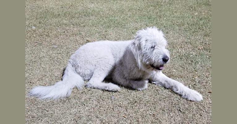Photo of Cotton, a South Russian Shepherd Dog  in Las Vegas, Nevada, USA