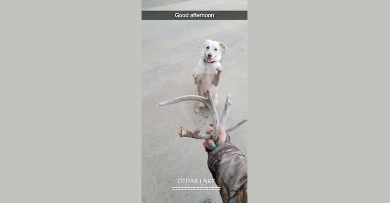 Photo of Jordan, an Australian Cattle Dog, American Pit Bull Terrier, Great Pyrenees, American Foxhound, and Mixed mix in Oklahoma, USA