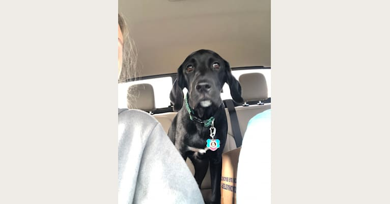 Photo of Huck, a German Shorthaired Pointer, Golden Retriever, and Australian Cattle Dog mix in Louisiana, USA