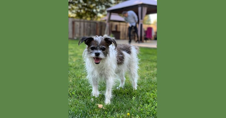 Photo of Murray, a Chihuahua, Shih Tzu, Poodle (Small), and Mixed mix in Martinez, California, USA