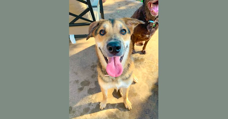 Photo of Parker, an Alaskan Malamute, Great Pyrenees, Boxer, and Mixed mix in Bastrop, TX, USA
