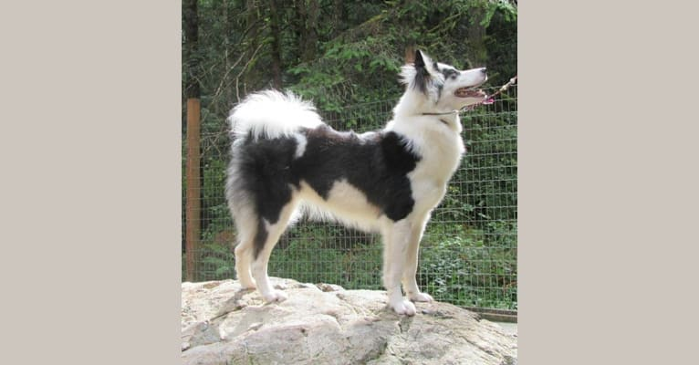 Photo of Russkoy Znati Black Star Lady, a Yakutian Laika  in Moscow, Russia
