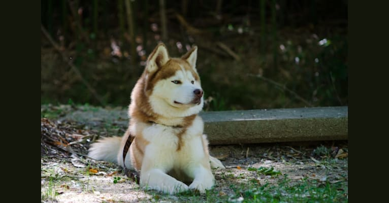 Photo of Buck, a Siberian Husky  in Blue Ridge Mountains, United States