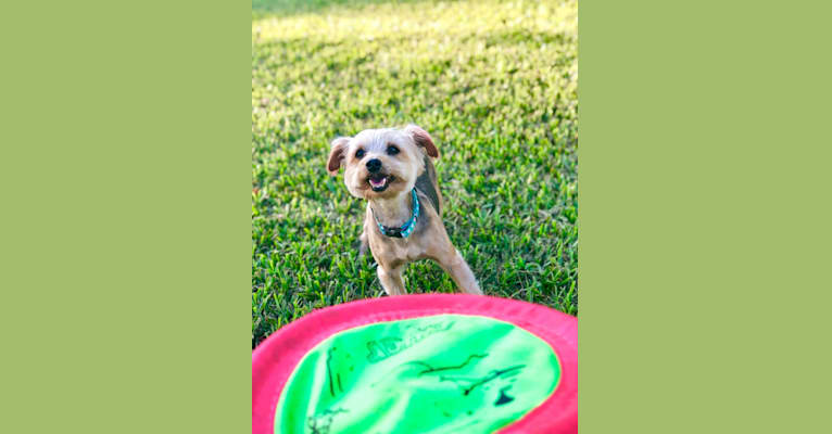 Photo of Dexter, a Yorkshire Terrier and Silky Terrier mix in Fort Lauderdale, Florida, USA
