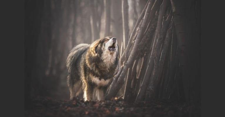 Photo of Norbu, a Tibetan Mastiff  in Nederland