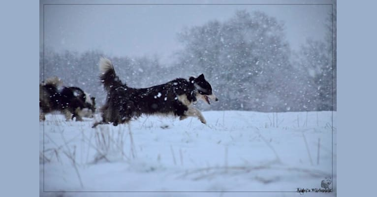 Photo of Shayan, a Yakutian Laika  in Novossibirsk, Russie