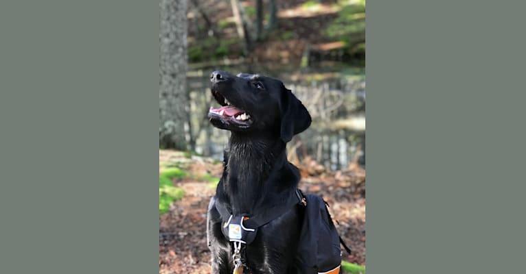 Photo of Rukka, a Goldador  in Canaan, Maine, USA
