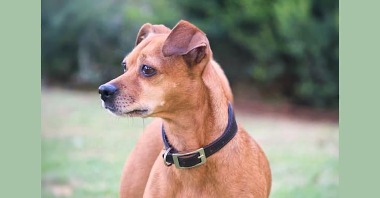 Photo of Rachel, an European Village Dog and Miniature Pinscher mix in Abruzzo, Italia