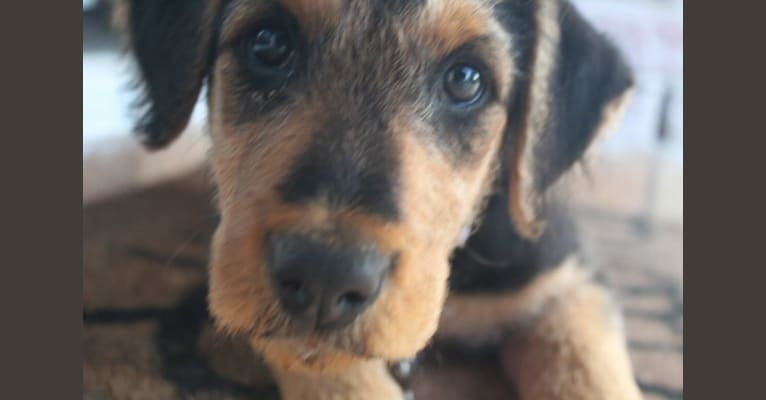 Photo of Sadie, an Airedale Terrier  in Pampa, TX, USA