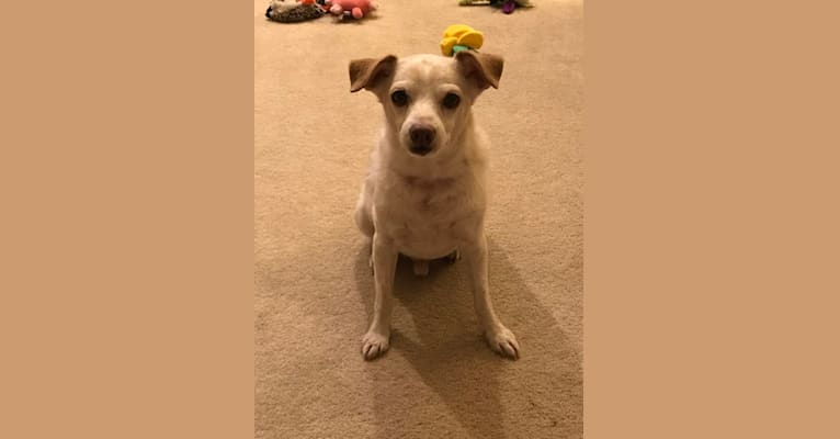 Photo of Harry, a Miniature Pinscher, Chihuahua, Poodle (Small), and Mixed mix in Scottsdale, Arizona, USA