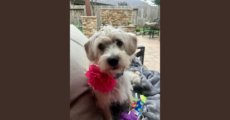 Photo of Willow, a Cocker Spaniel, Poodle (Small), Chihuahua, and Mixed mix in Katy, Texas, USA
