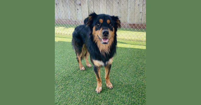 Photo of Roux, an Australian Cattle Dog, Chihuahua, Cocker Spaniel, German Shepherd Dog, Chow Chow, and Mixed mix in Las Vegas, Nevada, USA