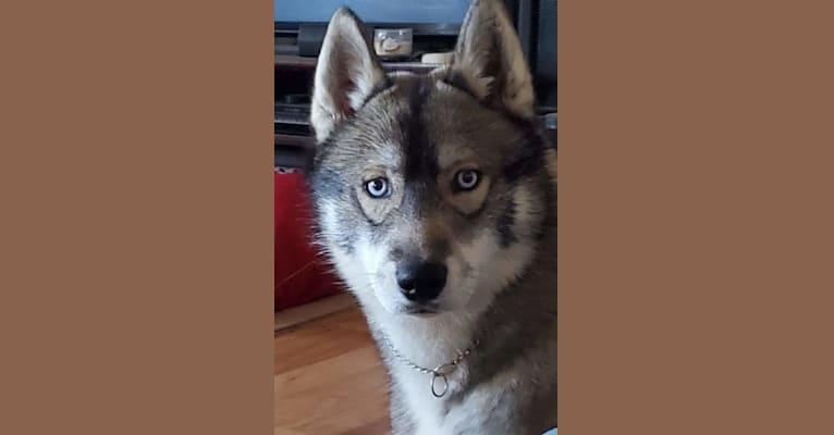 Photo of Quinn, a Siberian Husky