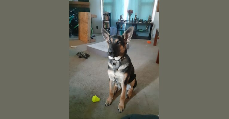 Photo of Loki, a German Shepherd Dog, Australian Cattle Dog, and Akita mix in Deer Lodge, Montana, USA