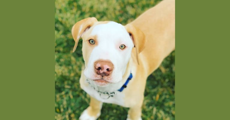 Photo of Sheldon Maxwell, a Rottweiler, American Pit Bull Terrier, American Staffordshire Terrier, Labrador Retriever, and Mixed mix in Burney, California, USA