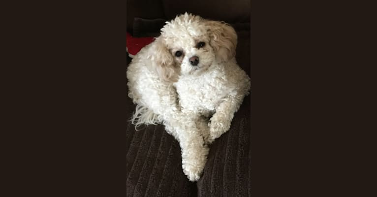 Photo of Luna, a Poodle (Small), Bichon Frise, and Cocker Spaniel mix in Tolleson, Arizona, USA