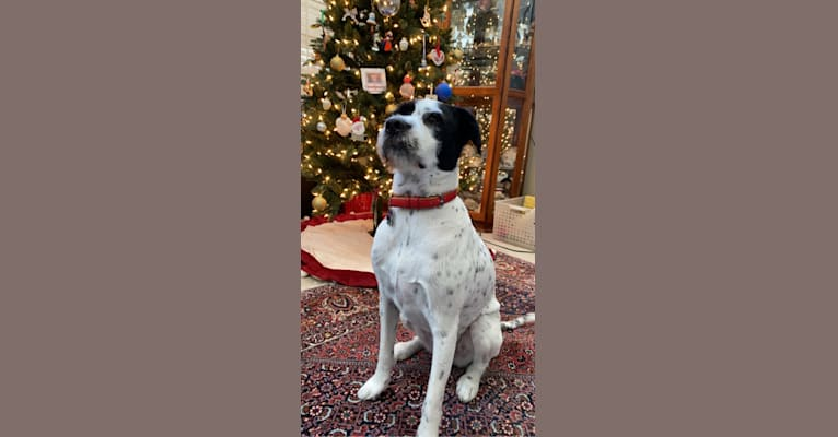 Photo of Winston Collins, an American Pit Bull Terrier, Dalmatian, Shih Tzu, Labrador Retriever, and Mixed mix in Texas, USA