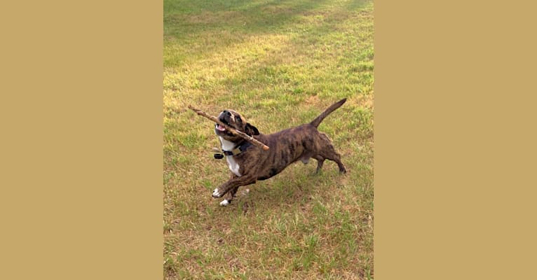 Photo of Frog, an American Pit Bull Terrier, Border Collie, and Mixed mix in North Battleford, Saskatchewan, Canada