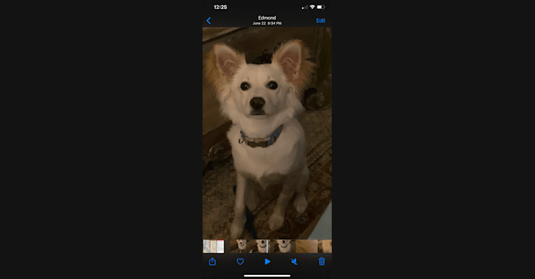 Photo of Simkah, a Chihuahua, Russell-type Terrier, Chow Chow, Yorkshire Terrier, and Mixed mix in Oklahoma, USA